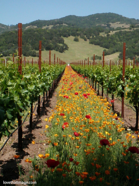 california, vineyards, grapevines, red poppies, california poppies, orange poppies