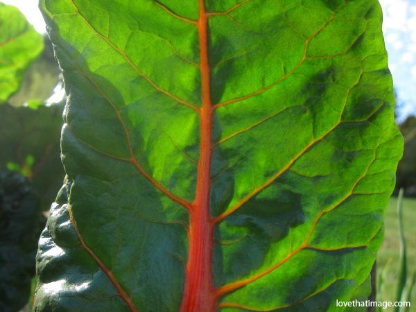 swiss chard, chard macro, bright lights chard, chard leaf, chard with red stem