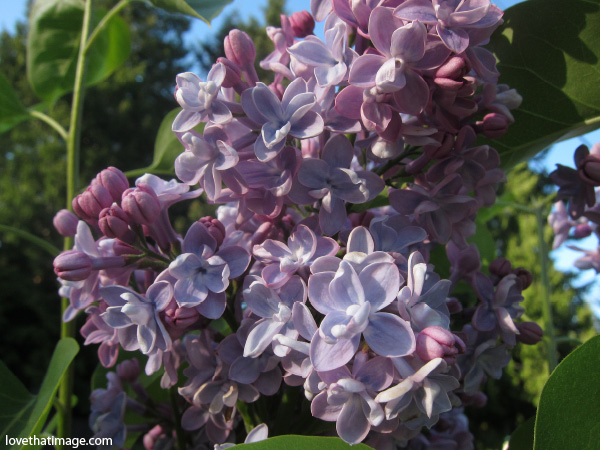 double lilacs, close up of lilac trusses, lavender lilac with pink tips, against blue sky