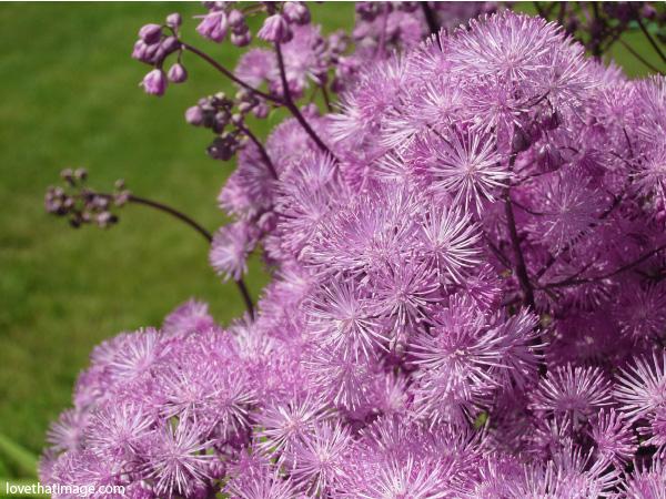 lavender meadow rue, lavender puffs, perennial puff flowers