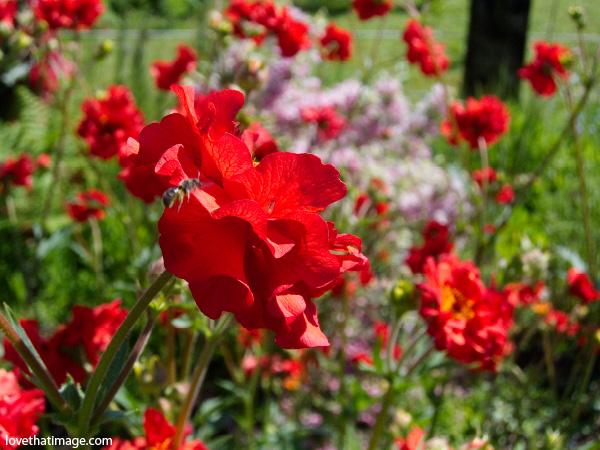 geum, red geum, geum with bee, garden perennial, red frilly flower, tall red flower