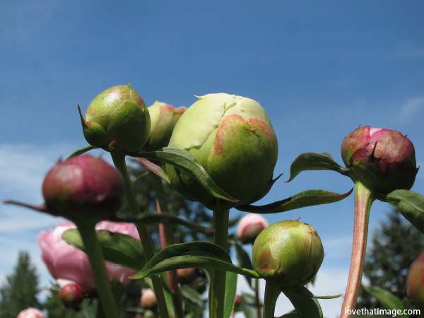 spheres, spherical, round buds, peony buds, peony buds in the garden, against a blue sky