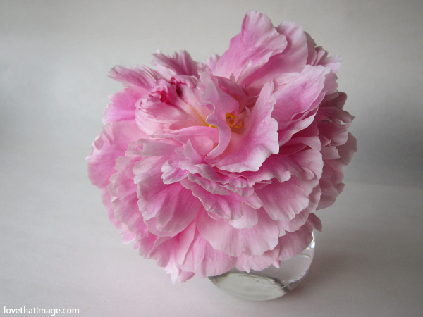 pink peony in glass vase, pink peony with ruffled petals, one pink peony, round clear glass vase