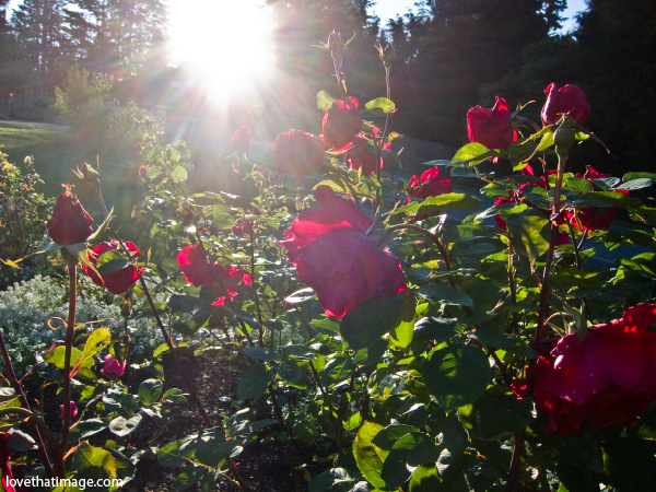 proud land rose, red rose, roses in the garden, rosebush in sunlight. red roses, rose buds