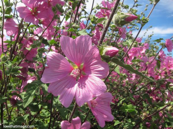 pink lavatera, lavatera macro, lavatera in the garden, sunshine on lavatera