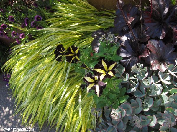 black and yellow petunia, yellow star petunias, dark purple petunias, black petunias with yellow stars