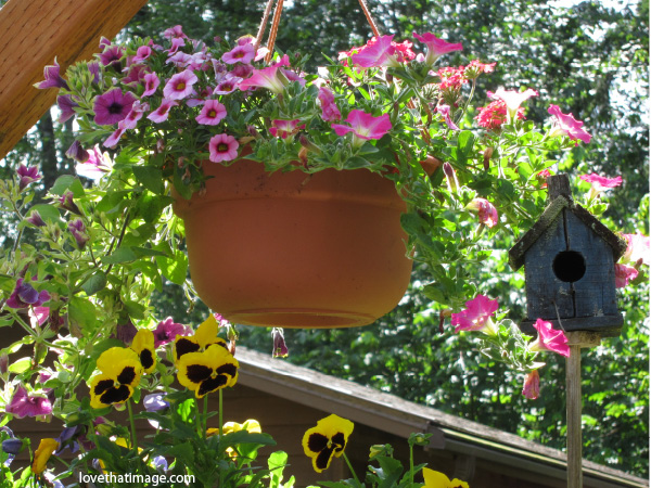 pink petunias in terra cotta planter, yellow and black pansies, sunshine on a porch