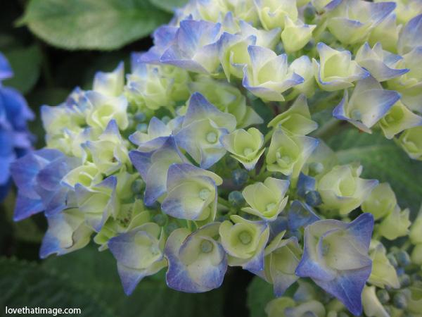 partly blue hydrangea, garden hydrangea, blue and green hydrangea, puffballs