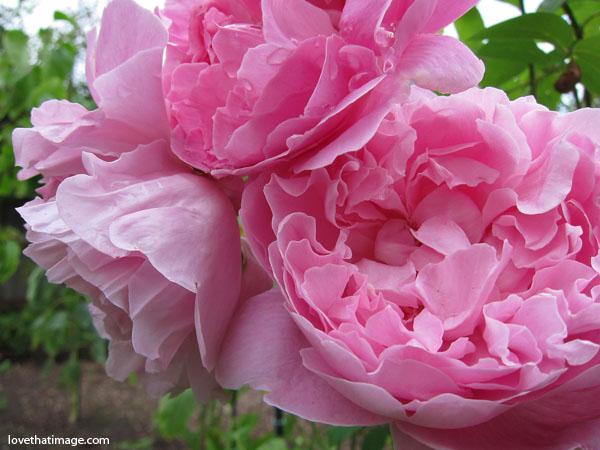 pink english roses in the garden, david austin roses, pink roses macro