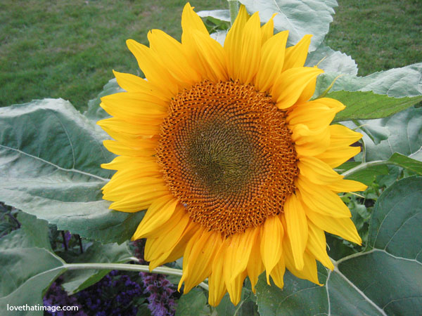 sunflower in the garden, sunflower with seeds, golden sunflower