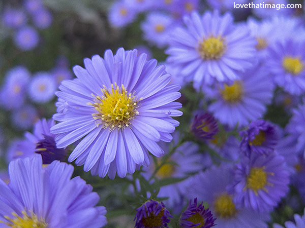 Lavender asters saras fave photo blog aster flowers lavender with yellow center daisy like flowers garden flowers mightylinksfo