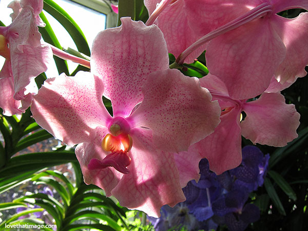 pink orchids with magenta centers, volunteer park conservatory, orchid macro
