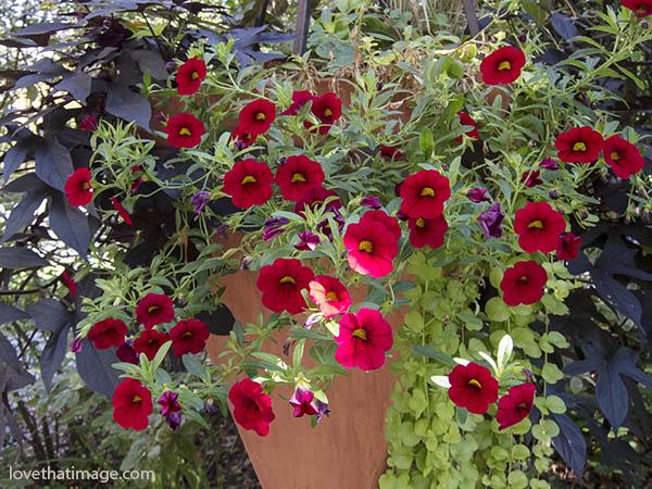 arboretum, hanging basket, red flowers, red petunias, sunlight