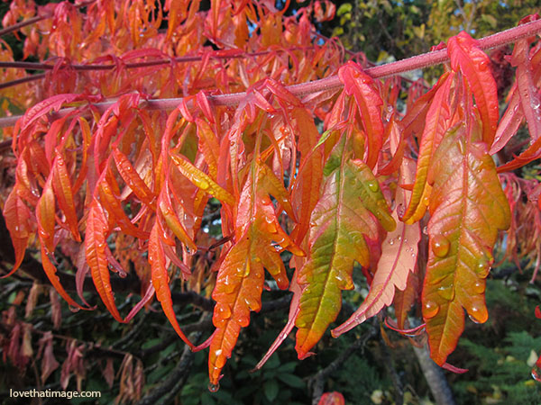 serrated leaves, autumn color, wet leaves in the garden, water droplets, orange, red, yellow leaves