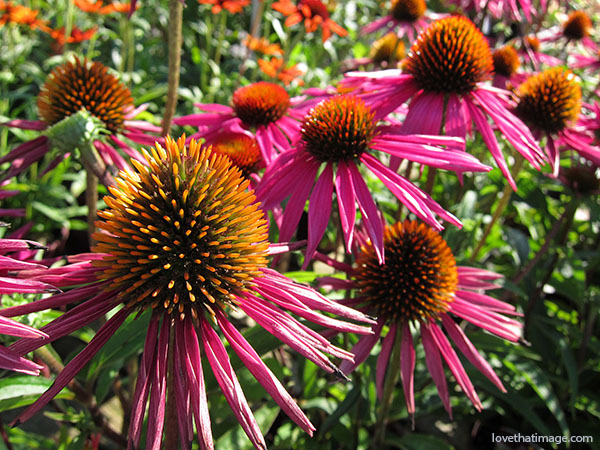 magenta coneflowers, pink coneflowers, echinacea, many coneflowers blooming