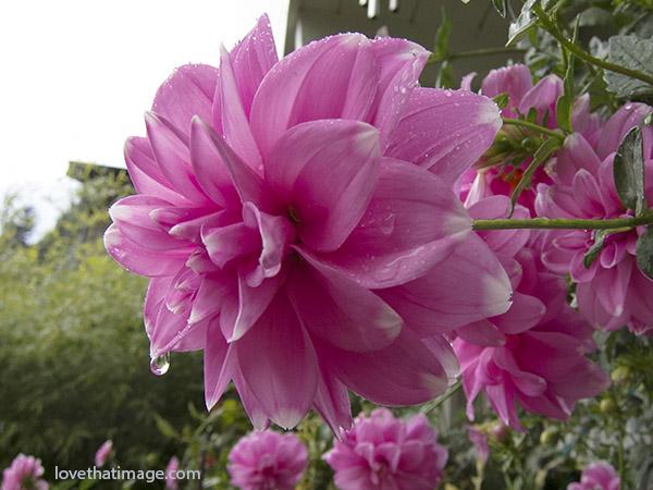 pink dahlia, garden dahlia, wet dahlia flower, dahlia in the rain, pink petals with white tips