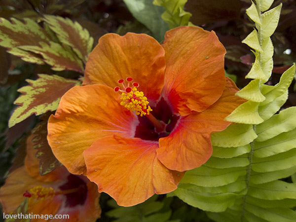 orange hibiscus, coleus leaves, boston fern leaves, orange hibiscus with red center