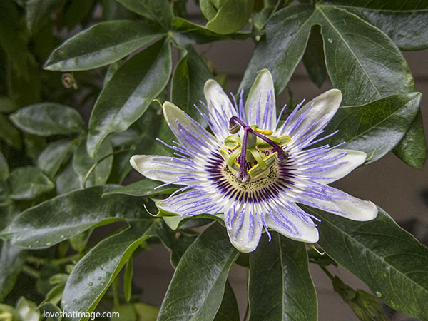 white and purple passion flower, tropical blossom, white passion flower with purple center