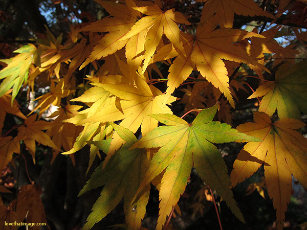 leaf shadows, yellow autumn leaves, japanese maple, fall leaves, pointy leaves, golden autumn leaves, yellow and green leaves