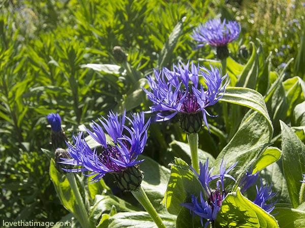 Centaurea montana, perennial, perennial bachelor's buttons, mountain bluet, garden flowers, blue flowers, cut flowers, cutting garden