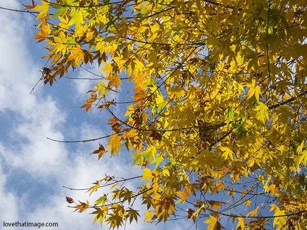 maple leaves, autumn leaves on the tree, leaves and sky, yellow leaves