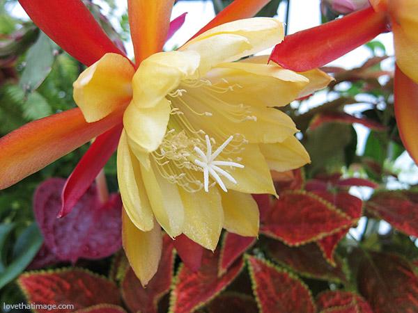Epiphyllum,rainbow, orchid cactus, yellow orchid cactus, rainbow orchid cactus, coleus, anthurium, flower rainbow, macro