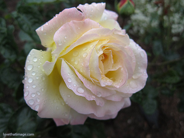 water droplets on rose petals, peace rose, rain on rose, rainy rose, pale pink petals