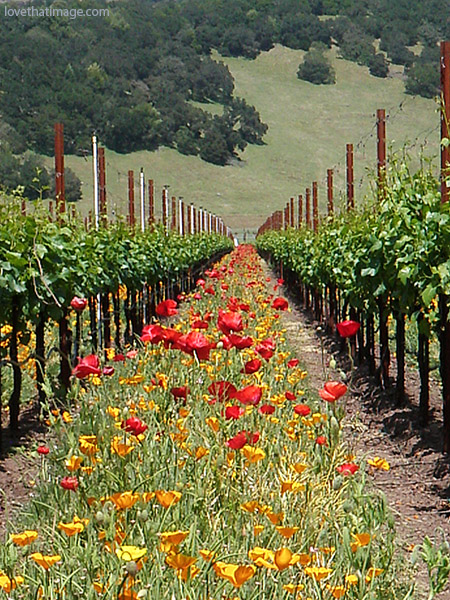 red poppies in vineyard, perspective, northern california, california poppies, grapevines