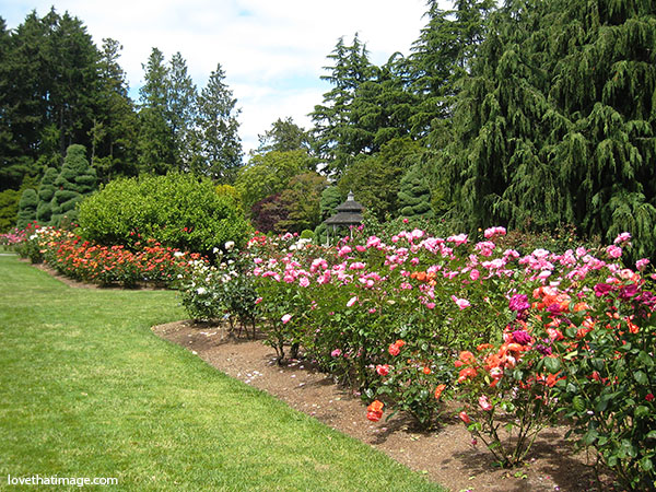 woodland park, rose garden, seattle, roses, flowers, landscape, summer