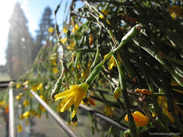 hatiora, drunkard's dream, drunkards dream, gourd plant, tiny yellow flowers, cactus, succulent, matchstick plant