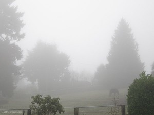 pacific northwest winter, fog, foggy, evergreen trees in fog, green grass