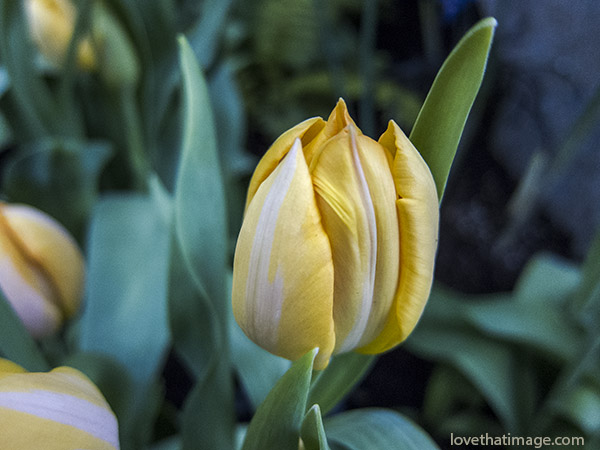 yellow tulip, yellow and white tulip, macro, tulip bud, tulip opening, NW Flower & Garden Show,