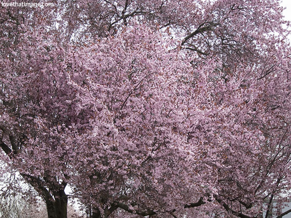 Old cherry trees covered in pink flowers