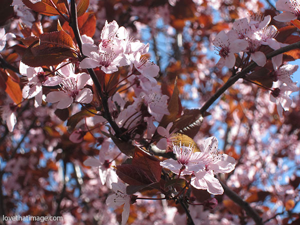 Ornamental cherry blossoms at the peak of their bloom.