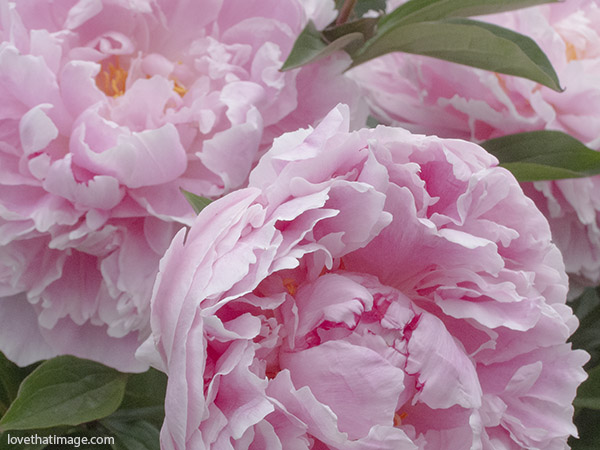 soft pink peonies, peonies macro, close up of pink garden peonies