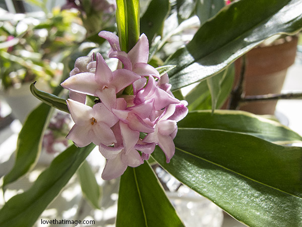 Daphne odora marginata blooms on a sunny windowsill in late March