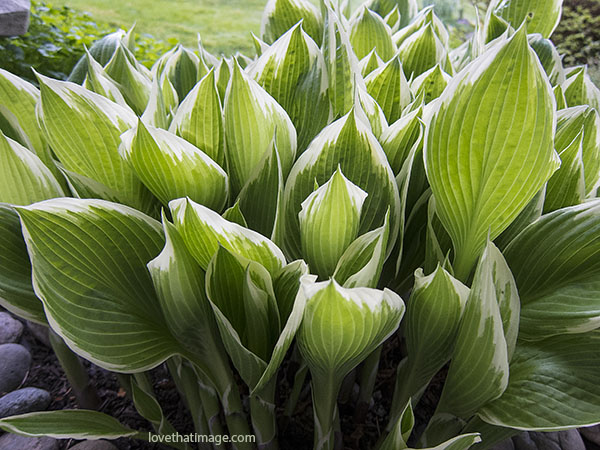 Variegated hosta leaves almost fully leafed out.