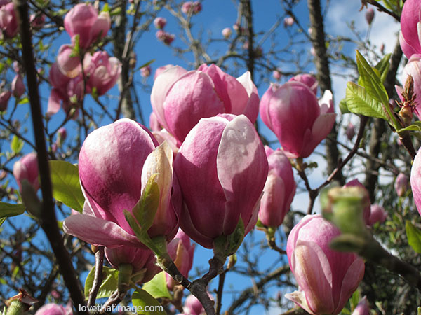 Pink Japanese magnolias against a sunny sky in springtime