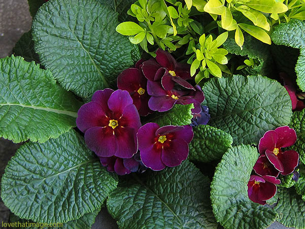 Purple, magenta and red primroses with their deeply textured leaves