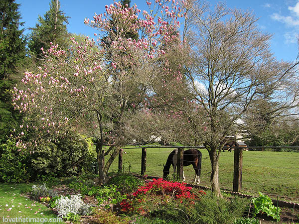 Two horses graze magnolia blossoms on a sunny spring day