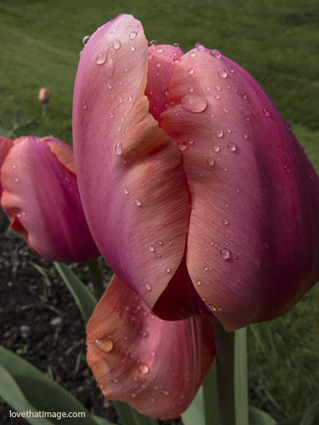 Raindrops on dark pink and orange tulip petals