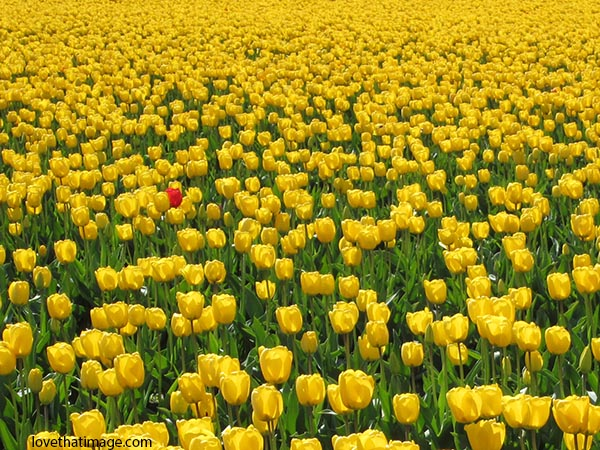One red tulip blooms in a field of yellow flowers