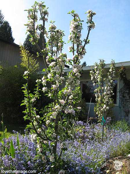 Two columnar apple trees blooming in a bed of forget-me-nots