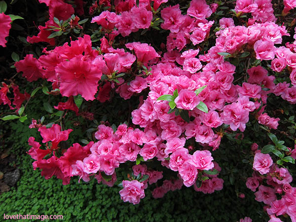 Red azaleas and pink azaleas, with baby's tears groundcover below them.