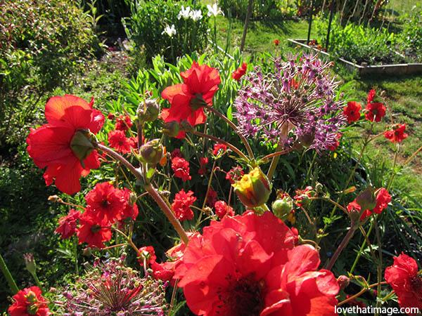 Red geum flowers plus purple allium light up this flowerbed in Seattle