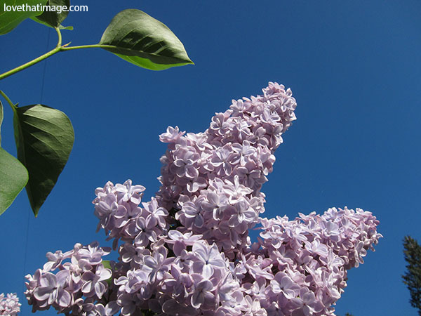 Double lilac flowers decorate the sky.