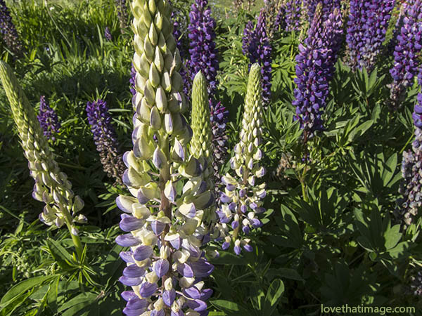 Lavender and purple lupines bloom in Seattle in May