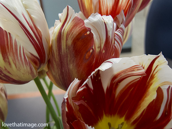 Red and white striped tulips bouquet