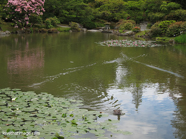 Duck swims on water-lily decorated lake at the Japanese Garden in Seattle's Arboretum