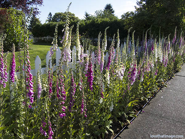Tall foxgloves, or digitalis, bloom along a white picket fence